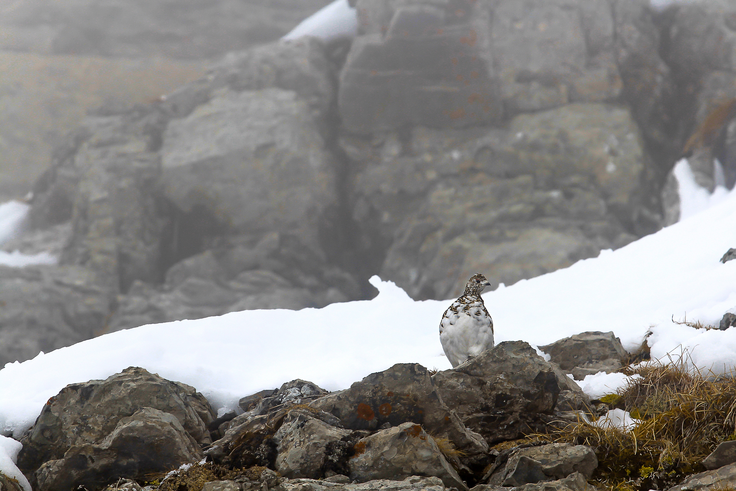 Rock Ptarmigan | Alpine Fauna